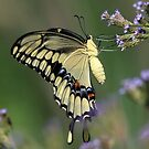 Tiger Swallow Tail by SuddenJim