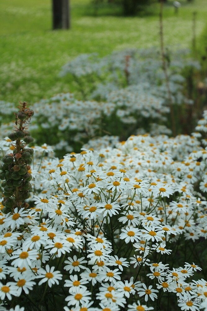 Daisies as Far as you can See by karina5