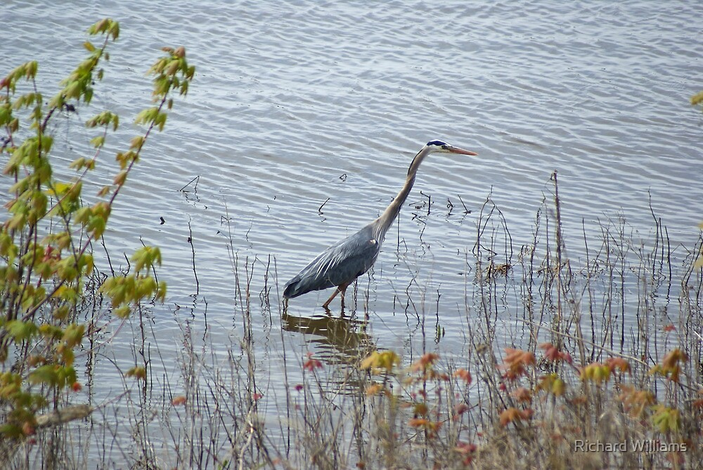 Blue Heron by Richard Williams