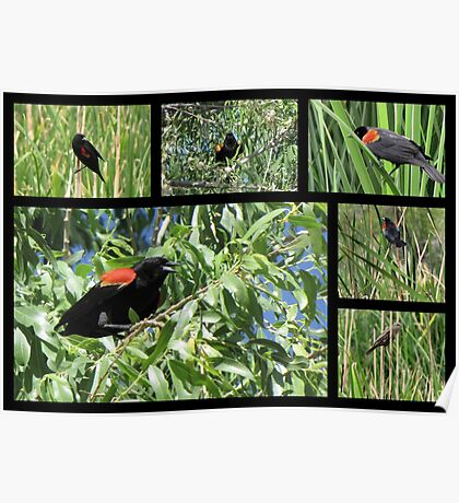 Red-winged Blackbird ~ Collage Poster