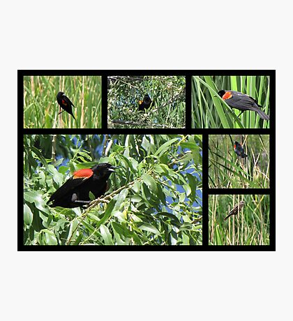 Red-winged Blackbird ~ Collage Photographic Print