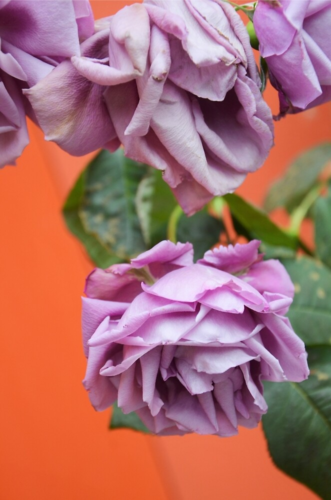 Purple Heirloom Rose by vrocampo