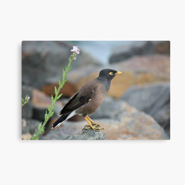 Indian Myna Bird Metal Print