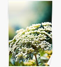 Small White Flowers Poster