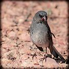 Red-Backed Junco by Len Bomba