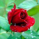 RAINDROPS ON ROSES... by Helen Akerstrom Photography