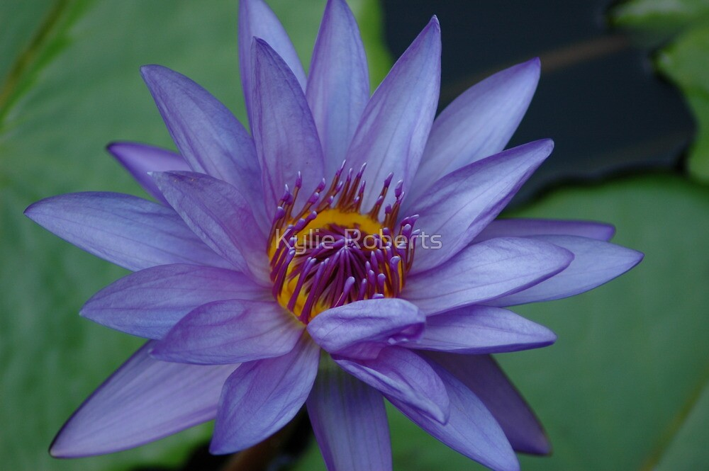 Lovely Lady Lily by Kylie Roberts