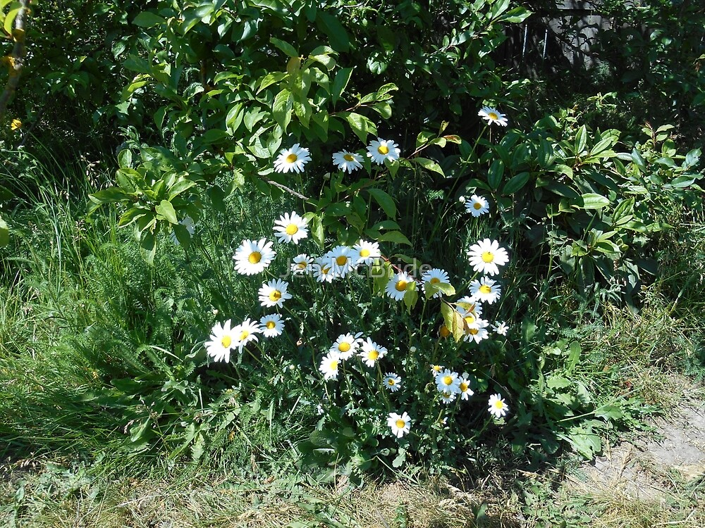 Backyard Daisies by JenMcBride98363