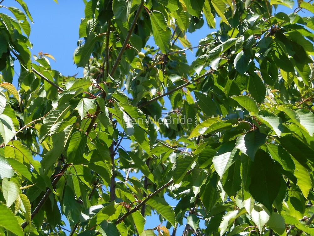Ripening Cherries by JenMcBride98363