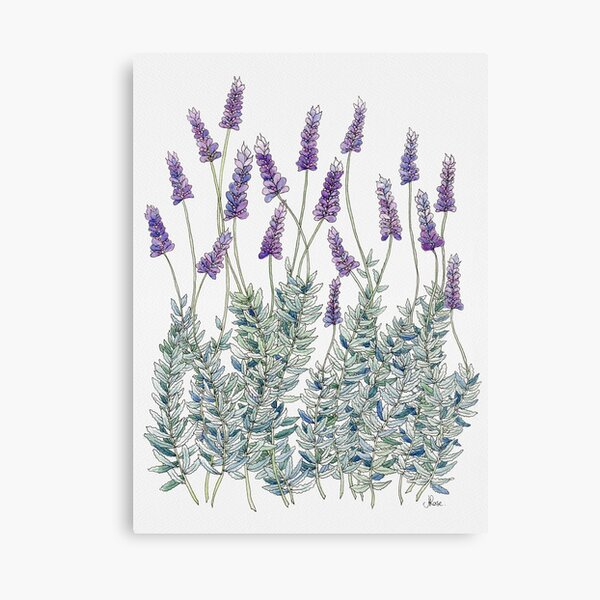 Lavender, Illustration Canvas Print