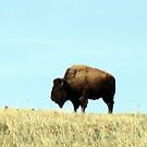 Bison Panorama by Zack Ireland