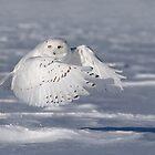 Snowy owl in flight by Jim Cumming