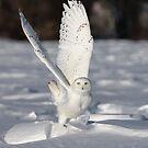 Snowy owl takes flight by Jim Cumming