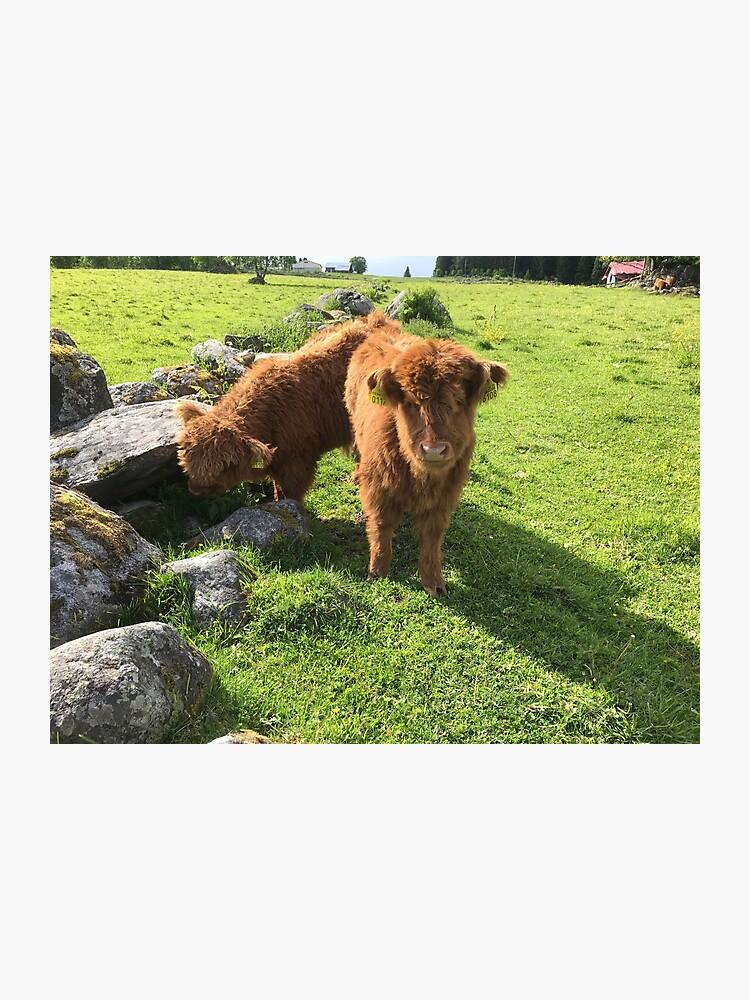 Scottish Highland Cattle Calves 1770 Photographic Print