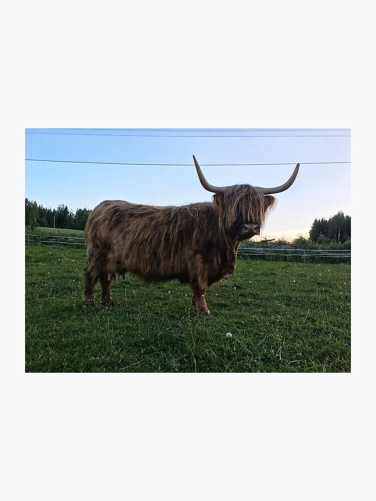 Scottish Highland Cattle Cow 1772 Photographic Print