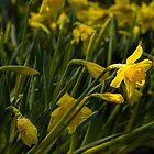 Daffodil Starlight by Marilyn Cornwell