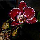 Orchid in Window by Bryan D. Spellman