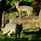 Foxes of Rock Hollow by Dennis Jones - CameraView