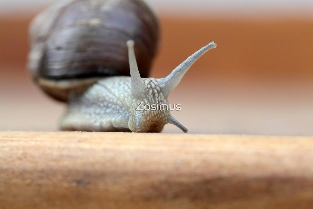 A Roman Snail (Helix pomatica). by Zosimus