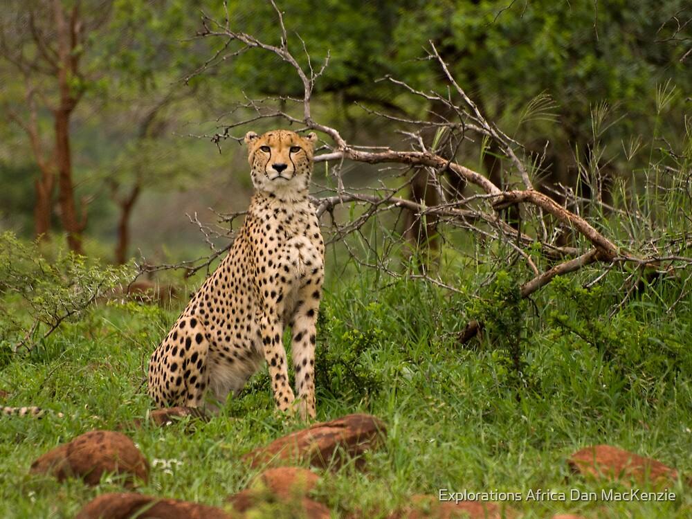 Alert! by Explorations Africa Dan MacKenzie