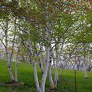 Beautiful Birch Trees by Monica M. Scanlan