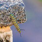 Caterpillar..... by buddybetsy