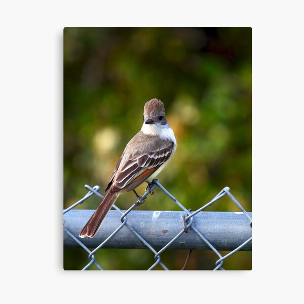 Ash-throated Flycatcher Canvas Print