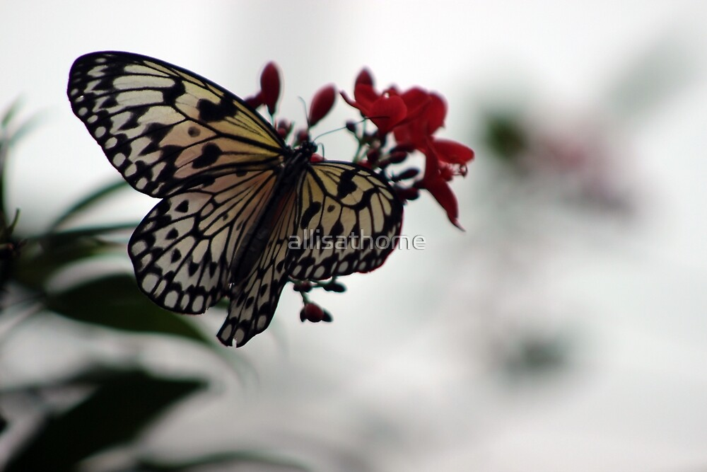 Elegant Butterfly by allisathome