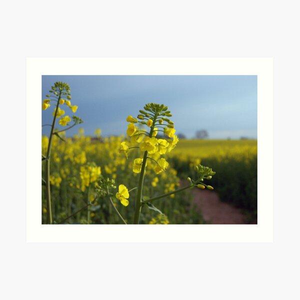 Oil seed rape flowers Art Print