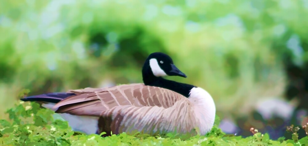 Canadian Goose Resting by photosbypamela