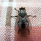 Fat juicy fly. by Livvy Young