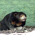 Asian Sun Bear -  Alma Park Zoo, Brisbane by Leesa Habener
