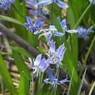 Siberian Squill (Scilla siberica)  by Tracy Wazny