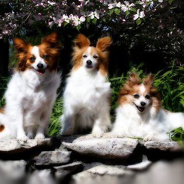 Papillon Sweeties by wildshots