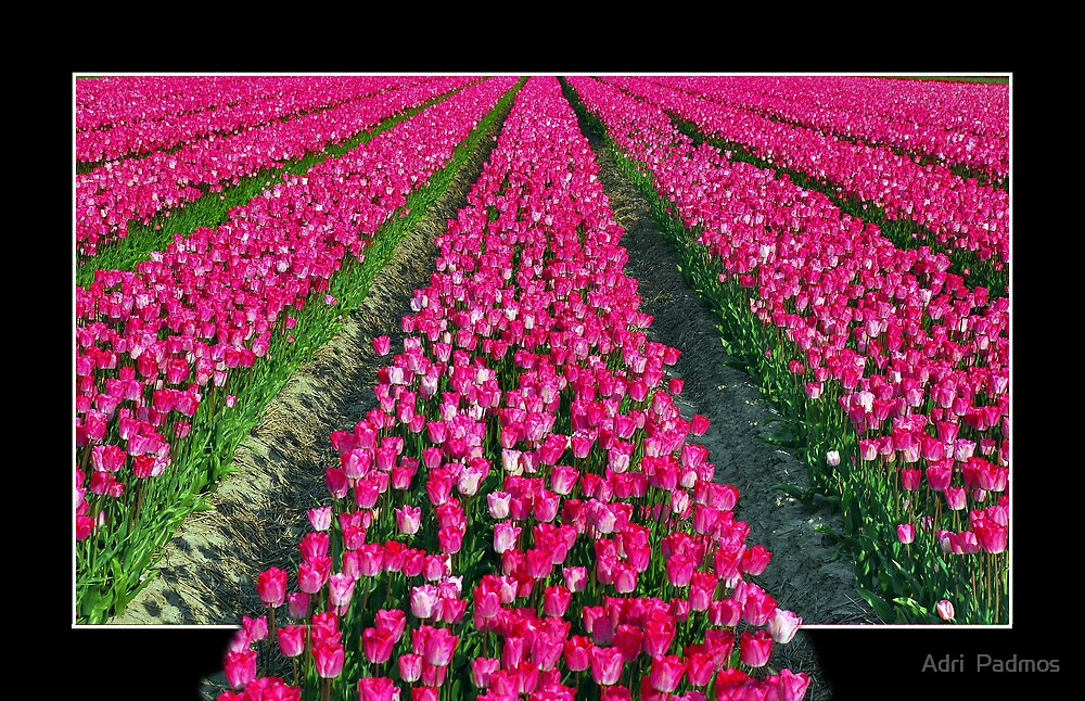 Tulips of Schouwen by Adri  Padmos