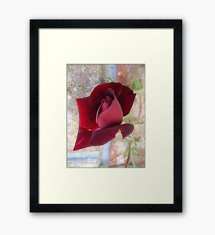 Ed's Rose Framed Print