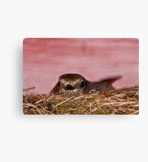 Mother bird nesting over the tool shed  Canvas Print