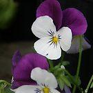 Viola by Jamaboop