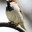 Common House Sparrow by Erik Anderson