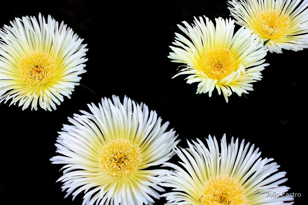 White flowers 8519 by João Castro