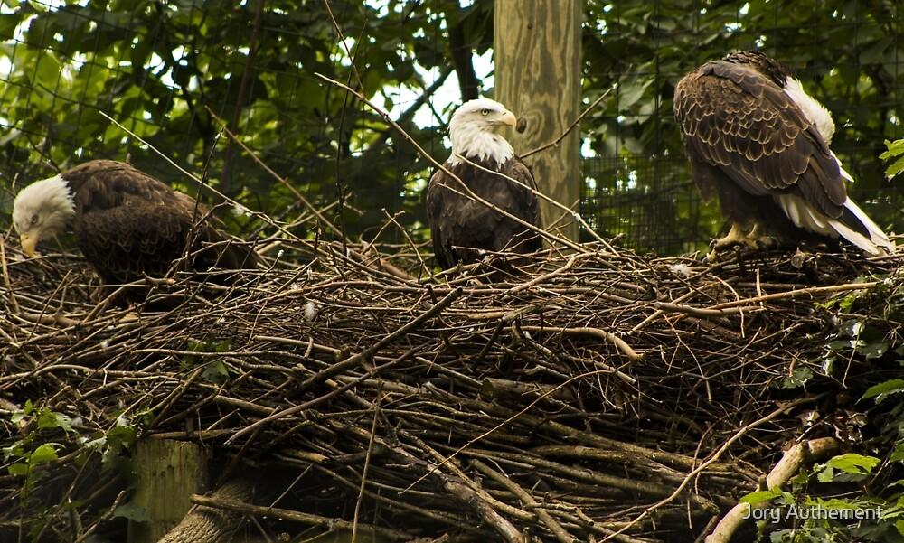 Bald Eagles by Jory Authement