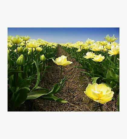 Tulips - One Step Out  Photographic Print