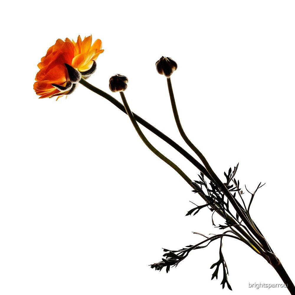 Ranunculus #2 by brightsparrow