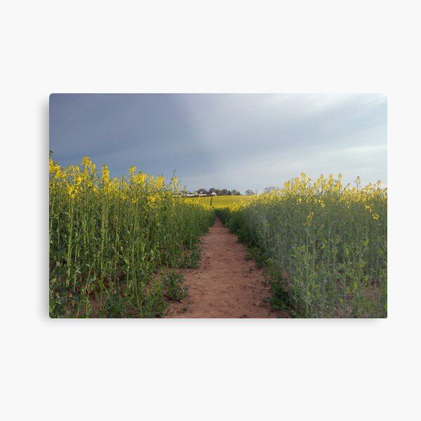 Down with the oilseed Metal Print