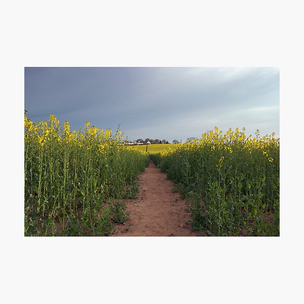 Down with the oilseed Photographic Print