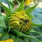 Sonnenblumenknospe von Ana Belaj