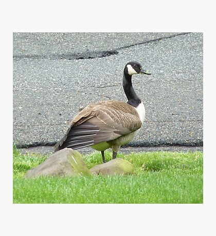 A Goose Up Close Photographic Print