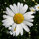 Oxeye Daisy by Jay Taylor