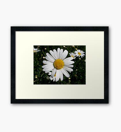 Oxeye Daisy Framed Print