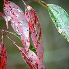 Gum Leaves in the Rain by Aakheperure